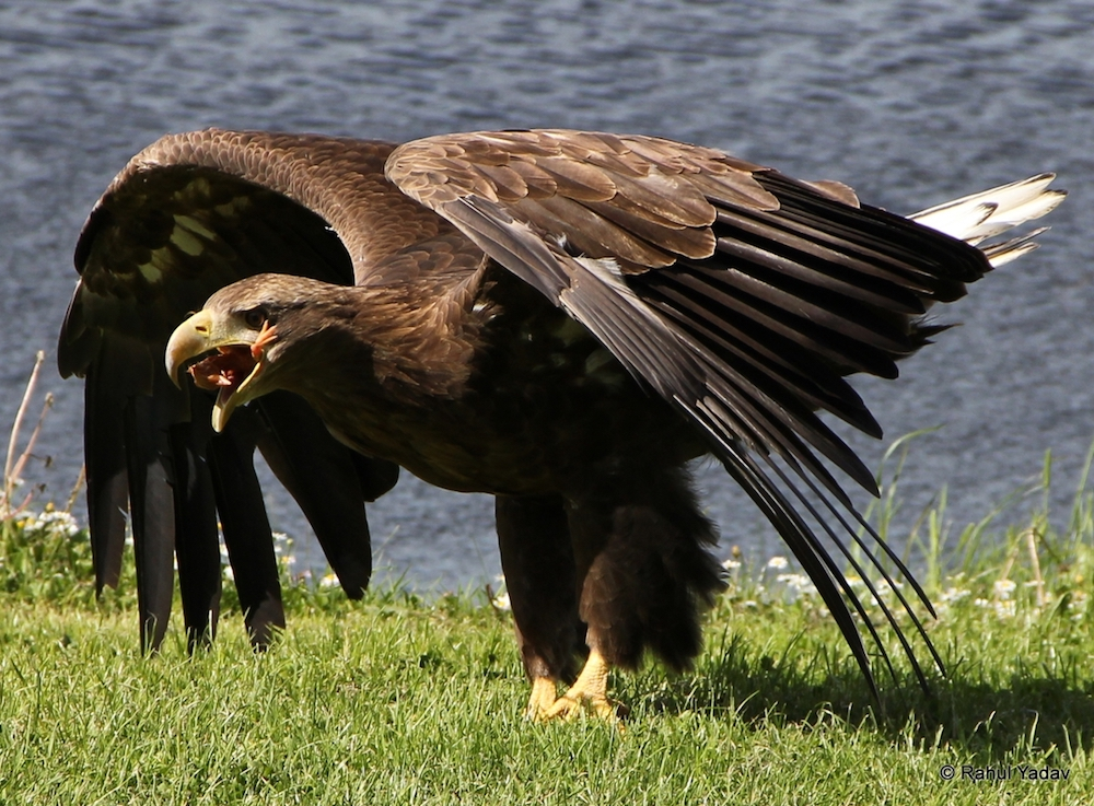 largest-bird-of-prey-4712355519_ef266e4294_o_d